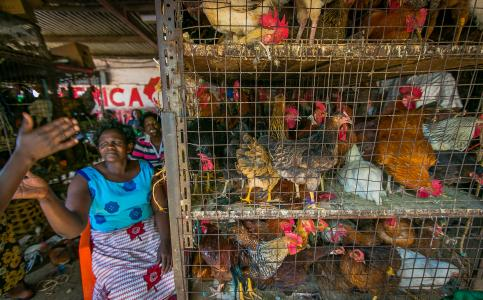 Photo of a woman with chickens in Kisumu, Kenya