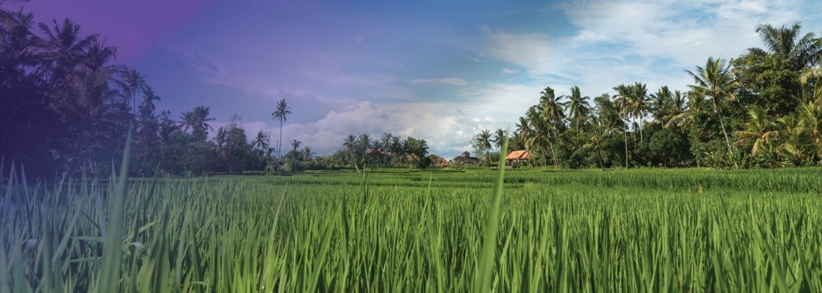 Photo of rice fields in Ubud